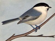 Talltita, Parus montanus - Fåglar - NatureGate