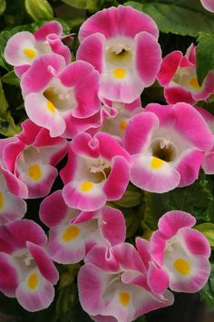 Torenia Kauai Rose  - this is a great plant for containers or the garden.  I love it in purple as well.