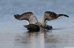 Common Loon stretching