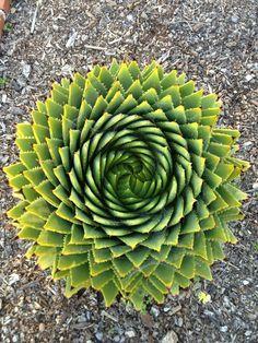 Golden Ratio - Fibonacci Spiral - Aloe Vera Plant