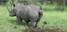 The perfect Rhino Poop Pooping Animated GIF for your conversation. Discover and Share the best GIFs on Tenor. Funny Animal Videos, Cute Funny Animals, Cute Baby Animals, Animals And Pets, Horse Clipping, Hippopotamus, Animal Kingdom, Funny Pictures, Funny Memes