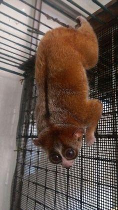 えぽきち2015 Slow Loris, Animals, Animales, Animaux, Animais, Lemur, Animal
