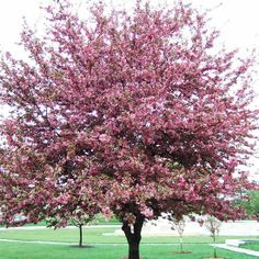 Profusion crabapple tree in bloom