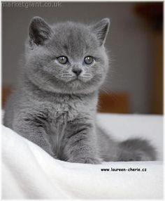 British Shorthair Blue Kittens - http://www.shop2impress.co.uk/petworld/petblog/british-shorthair-blue-kittens/