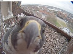 Peregrine falcon looking into webcam on Derby Cathedral. Hills And Valleys, Peregrine Falcon, Spring Sign, Derbyshire, Science Nature, Pet Birds, Cathedral, National Parks, Wildlife