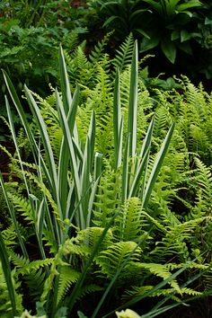 Variegated iris and ferns | Flickr