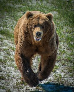 This is a photo of a Coastal Alaskan Brown Bear in. Baby Panda Bears, Polar Bear, Grizzly Bears, Baby Pandas, Animals Of The World, Animals And Pets, Baby Animals, Wild Animals, Brown Teddy Bear