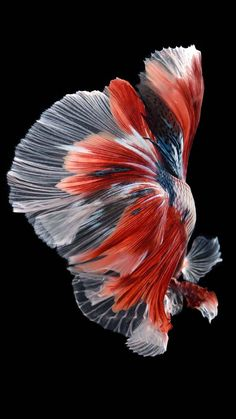 People around the world keep bettas and always do care for their diet, tank size, tank mates and water temperature but they forget to inquire about their Pretty Fish, Beautiful Fish, Animals Beautiful, Fish Wallpaper, Animal Wallpaper, Colorful Fish, Tropical Fish, Betta Fish Types, Beta Fish