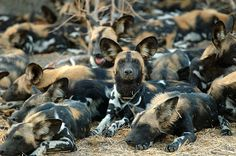 African Wild Dogs. Closet resemblance to the Wolf pack. They have a success rate for hunting of 80%, they have an alpha pair, but everyone else is equal in beta. When pups are born, they take turns watching them while the Alpha and hunting party go hunting. They bring back enough meat to feed the babysitters so they don;t starve. They are the only canines in the wild to feed the adults as well as the pups. They all take turns watching the den, and their interactions minic wolves.