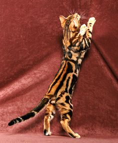 The Bengal  | Bengal Cat Breeder NiteWindes Cattery | Health Issues of the Bengal ...