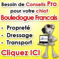 elevage Bouledogue Francais elevage chien Bouledogue Francais eleveur avec elevage de Bouledogue Francais