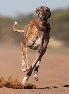 Lovely Brindle Galloping Greyhound
