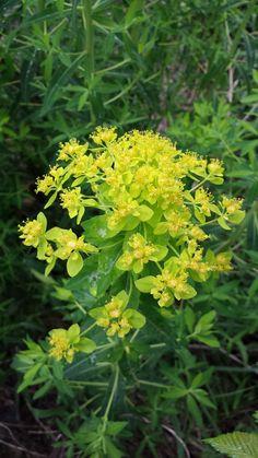 Euphorbia palustris - rantatyräkki