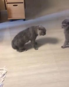 Funny Animal Videos, Cute Funny Animals, Funny Animal Pictures, Cute Baby Animals, Animals And Pets, Pet Videos, Videos Funny, Cute Kitten Gif, Cute Kittens
