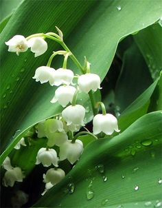 These are lily of the valley.I have about 8 of these plants, all blooming right now.  The trick will be deciding where in my garden to plant them. They spread all over the place, but they are so pretty and smell nice!