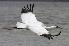 Crane Bird In-Flight - Bing Images