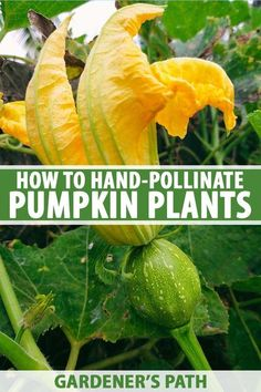 If you're growing your pumpkins indoors or in a greenhouse, or don't have many bees around, you might be wondering how you'll get any fruit. Pumpkin pollination requires bees, after all. But here's a secret: you can hand pollinate your gourds, and our guide tells all. Read more now. #pumpkin #gardening #gardenerspath