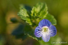 Véronique filiforme - Fleur de la forêt de Fontainebleau