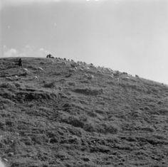 Greece, shepherds tending to sheep grazing on hill in Métsovon :: AGSL Digital Photo Archive - Europe