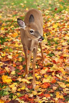 Deer Fawn in Fall Leaves - www.inspirewithnature.com