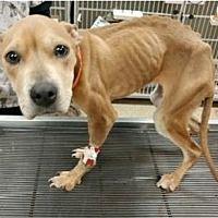 Dallas, Georgia - Pit Bull Terrier. Meet Roxy, a for adoption. https://www.adoptapet.com/pet/21410583-dallas-georgia-pit-bull-terrier