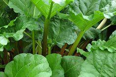 Rabarber telen: rabarber gezond oogsten, rabarberplant planten of vermeerderen, giftig of gezond?