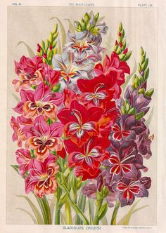 Gladiolus print.