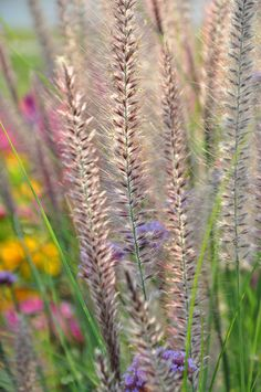 great color for the late summer garden, flowers, gardening, Fountain Grass Pennisetum