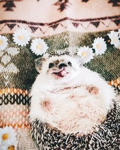 Little master of pulling funny faces 🙈🙉🙊 Happy Hedgehog, Hedgehog Pet, Cute Hedgehog, Nature Animals, Animals And Pets, Funny Animals, Super Cute Animals, Cute Little Animals, Beautiful Creatures