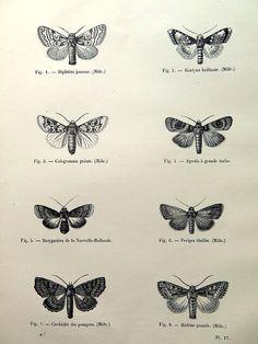falene originale 1860, incisione, stampa antichi insetti, lepidotteri dellannata papillon piastra illustrazione, farfalle notturne curiosa