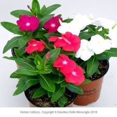 Vinca, Pervinca Tag, Plants, Gardens, Colorful Flowers, Green, Plant, Planets
