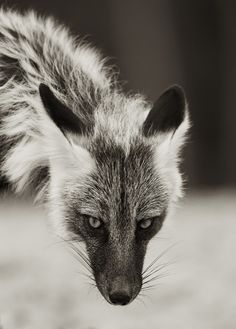 Beautiful grey fox