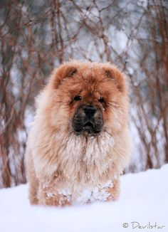 You never appreciate loving snow until you see a chow love snow