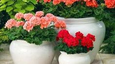 Glorious Enjoy Life With Your Own Flower Garden Beautiful Easy Ideas. Enjoy Life With Your Own Flower Garden Beautiful Easy Ideas. Easy Garden, Garden Pots, Container Gardening, Gardening Tips, Organic Gardening, Urban Gardening, Indoor Gardening, Geranium Plant, Rogers Gardens