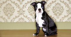 boston terrier puppies seattle | Zoe Fans Blog