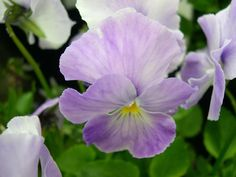 Viola Princess Mab : Large flowers, of rosy mauve flecked with cream.  Very beautiful.  Neat habit. (EG 2013)