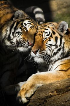 Tiger Love by Jim Meehan, via 500px.  Taken at the Pittsburgh Zoo.