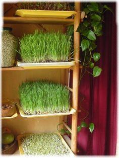 alimentation vivante, graines germées, germoirs, jus d'herbe de blé, alimentation et santé, institut hippocrates, ann wigmore