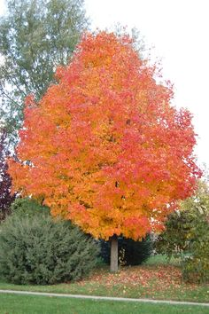 As you see here, there's a reason why sugar maples have the reputation of being one of the very best trees for fall color. Autumn foliage varies year to year, but maples in general, and sugar maples in particular, are among the most consistent—and spectacular. Green Mountain is probably the most planted variety, because it [...]