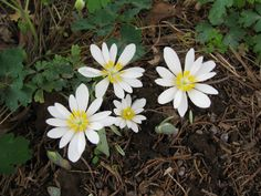 My wild flowers are starting to come up. This is Blood Root.