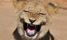 The lion who roaring with laughter: Male cub cracks a toothy grin