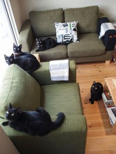 There's a cat cafe, a place where you can cuddle with cats as much as you like, that is only dedicated to black cats in Hyogo prefecture  Japan. I'd like to visit here oneday