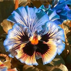 pansies uses \ pansies uses Flowers Nature, Exotic Flowers, Amazing Flowers, Pretty Flowers, Fleur Pansy, Flower Pictures, Art Floral, Pansies, Watercolor Flowers