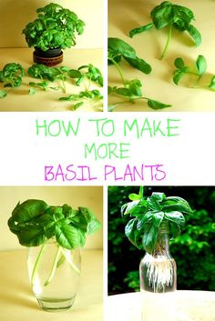 HOW TO MAKE MORE BASIL PLANTS 1
