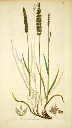 1796 Copper Engraving James Sowerby Cynosurus Crested Dog's-Tail Grass Botanical