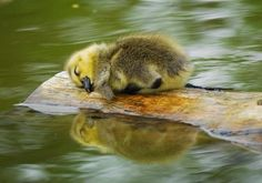 Sleepy duckling