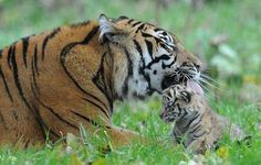 Sumatran tiger lays down the law with newborn as endangered cubs make first public appearance Funny Animal Photos, Cute Animal Pictures, Baby Animals, Funny Animals, Cute Animals, Tiger Art, Tiger Cubs, Tiger Tiger, Lay Down The Law