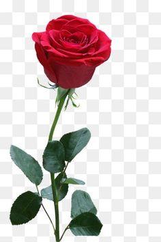 Most Popular Transparent Background White Rose Flower Png Background Wallpaper For Photoshop, Blur Image Background, Photo Background Images Hd, Studio Background Images, Rose Flower Png, Rose Flower Photos, Flower Png Images, Hd Flowers, Photo Fleur Rose
