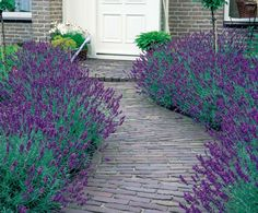 Benih Lavender Munstead Strain