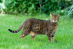 The Bengal is a relatively new companion breed. It was created by crossing a domestic cat with a wild Asian Leopard Cat. Today's Bengals are long, sleek and muscular cats of medium size and many look remarkably like a tiny wild leopard. #Cat #Bengal